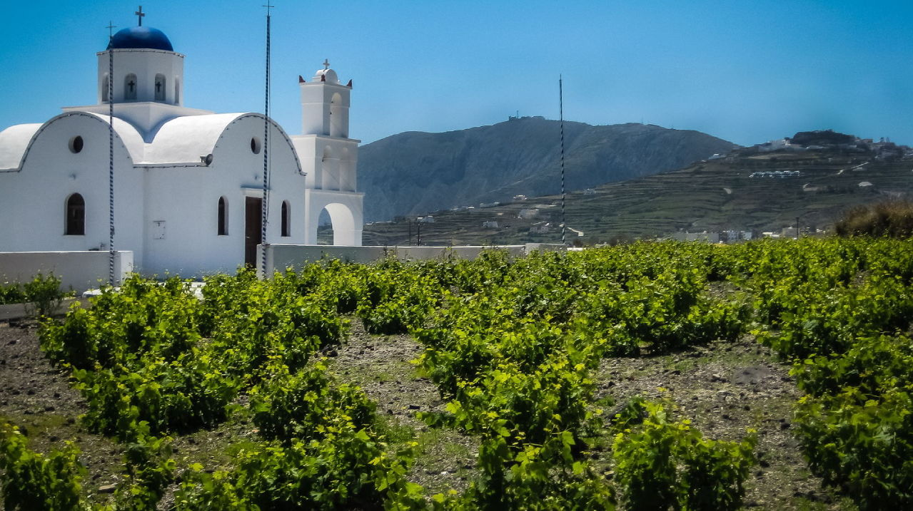 santorini-winery-with-grape-vines